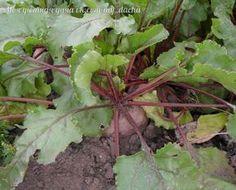 Свекла в отличие от моркови любит золу. Поэтому пару раз за сезон подсыпьте золы под свеколку. Это способствует нейтрализации почвы, ведь свекла плохо переносит кислые почвы. Можно даже известки под растения подсыпать для раскисления.