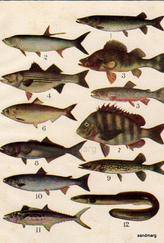 1919 chart of american fresh and salt water fish twelve for 405 tropical fish