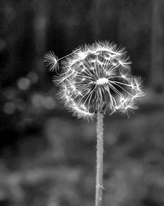 Black and white photographynature photographydandelion artmodern art8x10