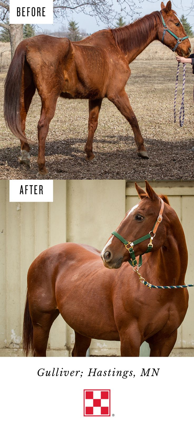 "We are always touched to receive updates like this from rescue shelters that have benefitted from our partnership with A Home for Every Horse. Gulliver looks amazing thanks to This Old Horse, Inc. in Hastings, Minnesota. Founder Nancy T. says,    ""Gulliver is one of our more recent rescues. He was featured at the Minnesota Harvest Horse Show this fall as we celebrated his seven-month journey from Starved to Star!"