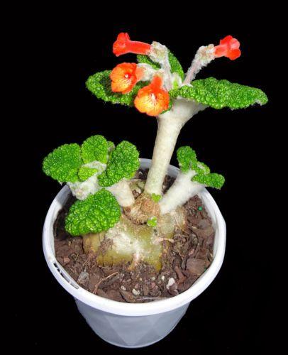 Caudex-plant-Sinningia-bullata-succulent-Rare-plant