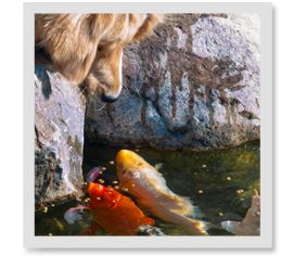 17 best images about dogs and koi on pinterest for How much is a koi fish