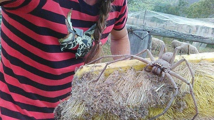 Giant Huntsman Spider in Australia is Chilling, But Surprisingly Chill