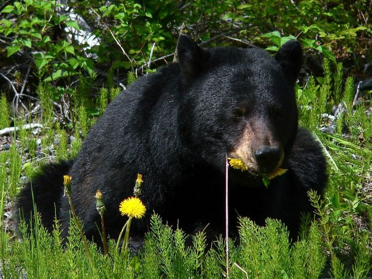 The Black Bear can be found in Glacier NP