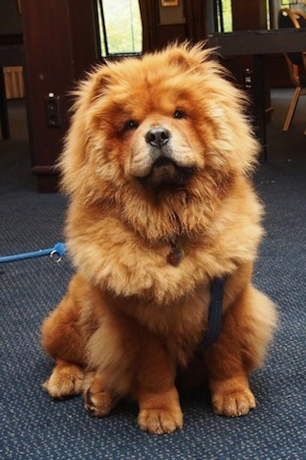Chow Chow suited for Simbae's Long Haired Shampoo & Conditioner