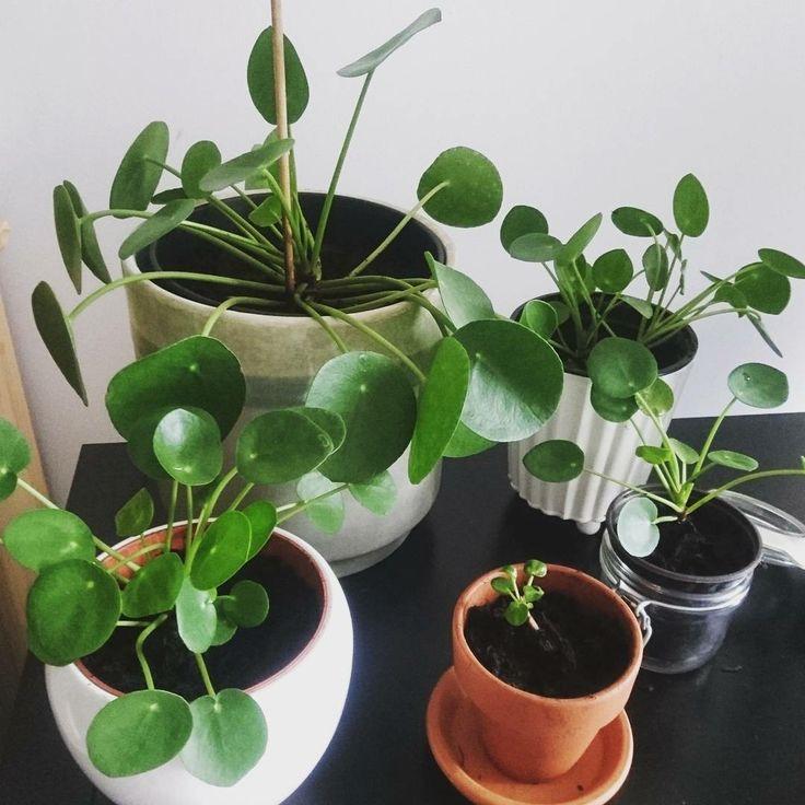 Pilea peperomioides, pannenkoekplant, gemakkelijk te stekken