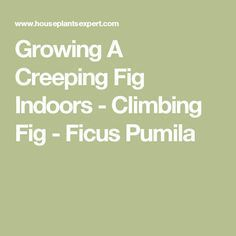 Growing A Creeping Fig Indoors - Climbing Fig - Ficus Pumila