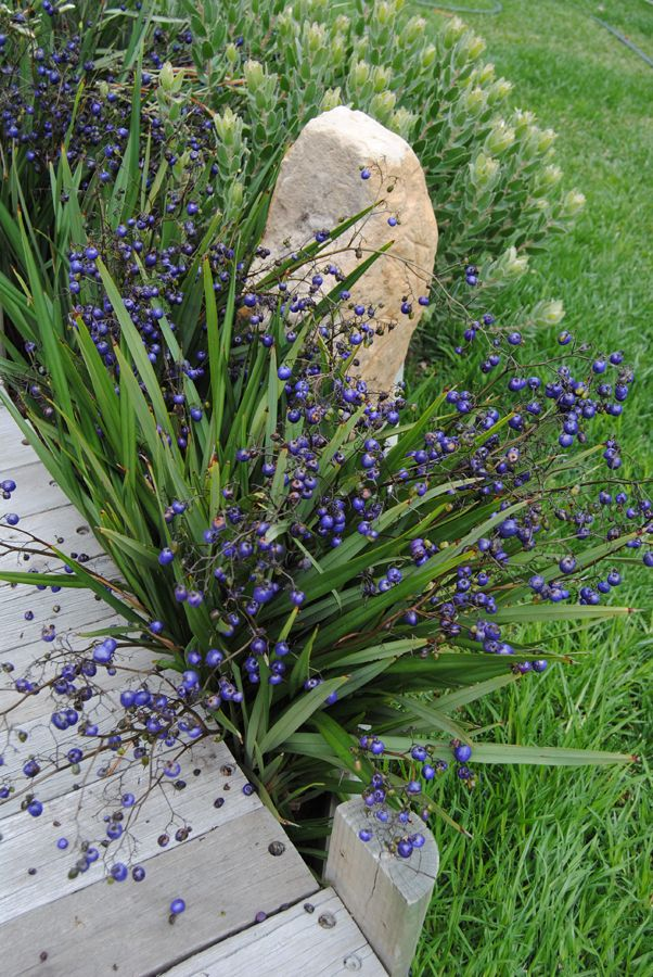 Dianella 'Little Devil'