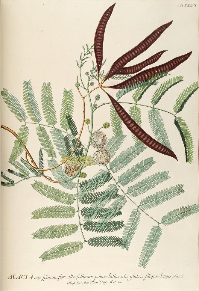 Georg Dionysus Ehret, Acacia illustration for Plantae selectae quarum imagines ad exemplaria naturalia Londini, in hortis curiosorum nutrita, by Christoph Jacob Trew, 1750-73.
