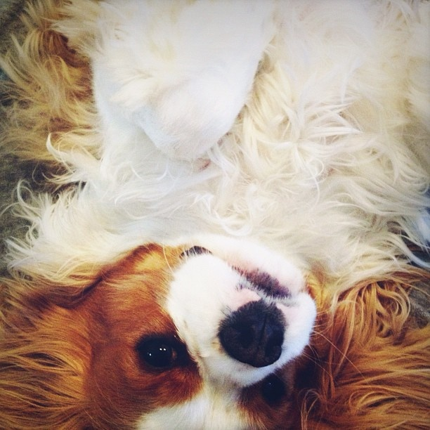 upside down.: Dogs Animal, Cavaliers Mine, Cavalier King Charles, Animals 3, King Charles Cavalier, King Charles Mof, King Charles Spaniels, Animal King
