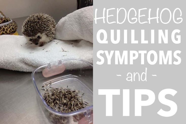 Hedgehog quilling symptoms and tips hedgehog pet
