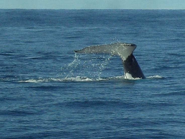 Whale Watching - Moreton Island