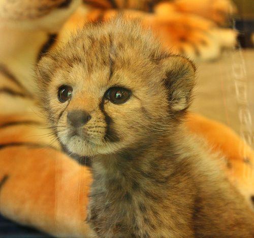 Cincinnati Zoo's baby Cheetah!