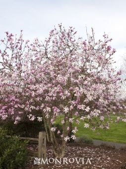 existing Loebner Magnolia: 10-15'h x 12' w, full sun, fragrant showy spring flowers