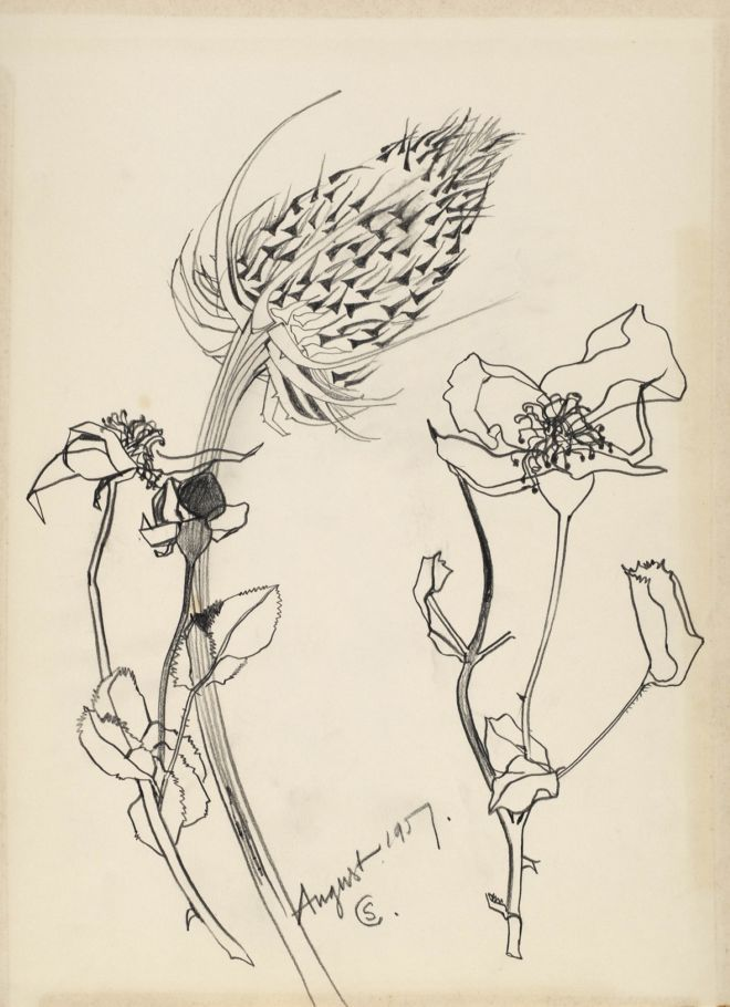 Pencil drawing of teasel and a briar rose