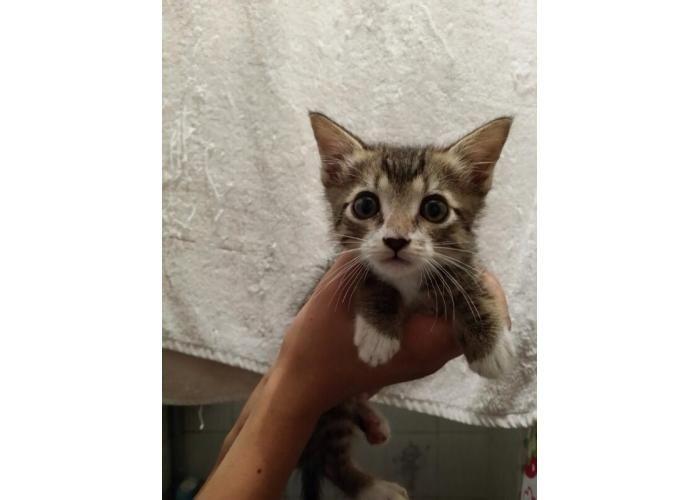 La Tienda de los Gatos: Donativo para Bali  Donativo de: $50.00 Bali, es uno de los gatitos de La Casa del Gato Gazzu.  Este gatito, como verán en la foto es muy pequeñito y tiene algo llamado 'Pectus Excavatum', ¿qué es?; es una deformidad congénita de la caja torácica, caracterizada por tener el pecho hundido.