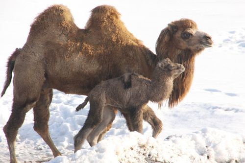 Baby Camel at the Minnesota Zoo