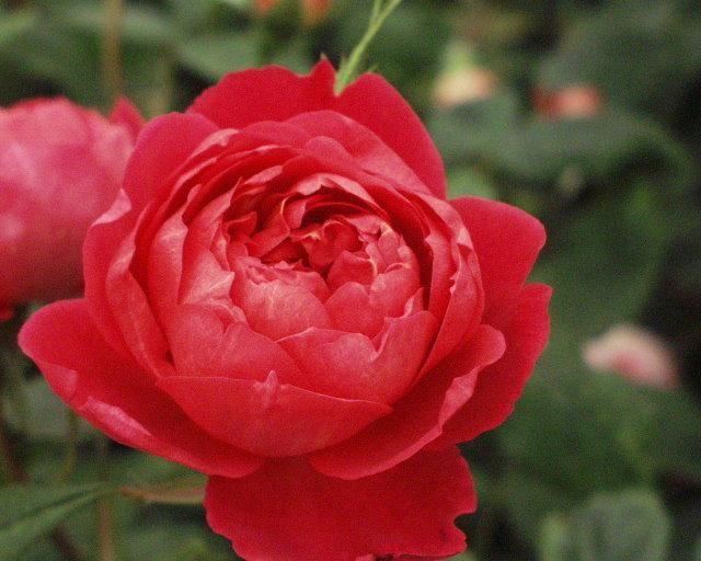 BENJAMIN BRITTEN  (Ausencart, David Austin 2001).    En ovanlig färg bland Engelska Rosor – en vacker röd färg med inslag av orange som ibland slår över till nästan karminfärgad. Väldigt vacker att kombinera med aprikosfärgade, orangefärgade och röda rosor. Den har djupt skålformade blommor som sedan går över i en öppen rosettform.