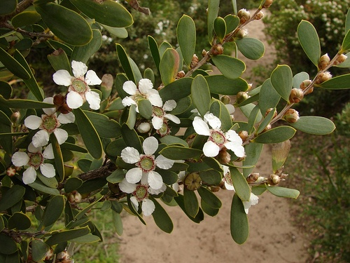 Leptospermum laevigatum - Coast Tea-tree by Tatters:), via Flickr