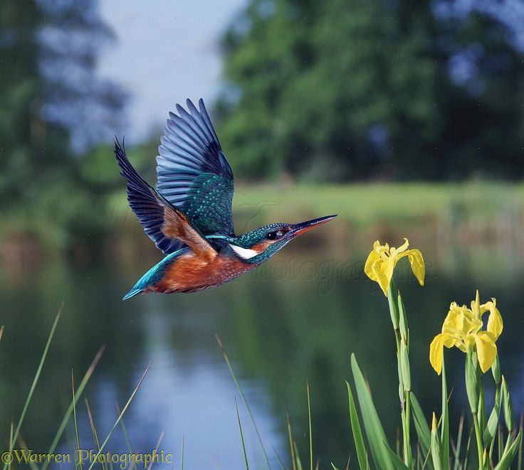 Kingfisher In Flight By A Pond Photo