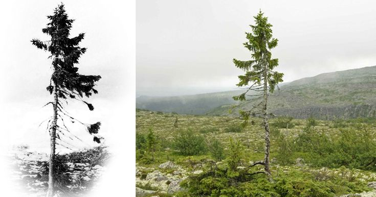 "9,500-Year-Old Tree Found in Sweden Is The World's Oldest Tree - The world's oldest tree, a 9,500-year-old Norwegian Spruce named ""Old Tjikko,"" after Professor Leif Kullman's Siberian husky, continues to grow in Sweden. Discovered in 2004 by Kullman, professor of Physical Geography at Umeå University, the age of the tree was determined using carbon-14 dating."