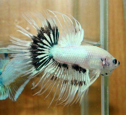 Fancy white black crowntail sold betta pinterest betta for Black betta fish for sale