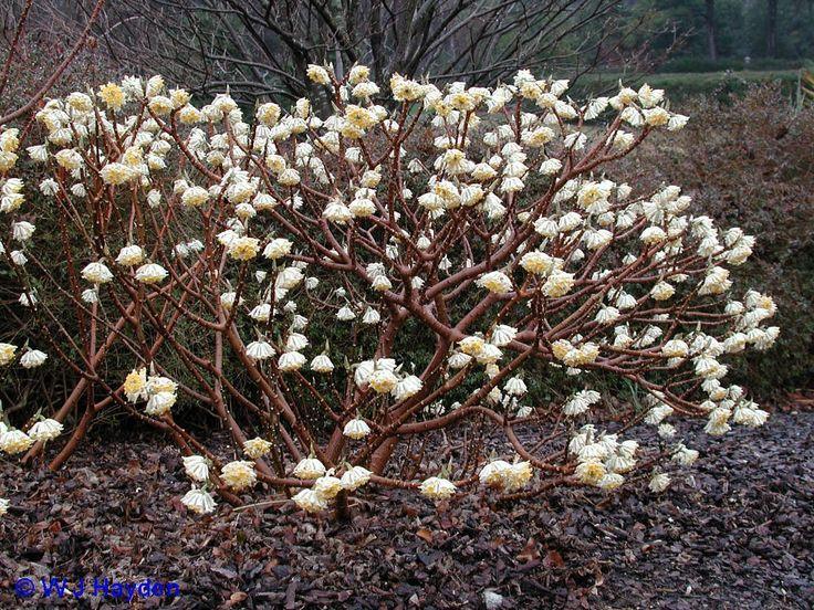 Edgeworthia chrysantha 'Gold Rush' emerging in spring