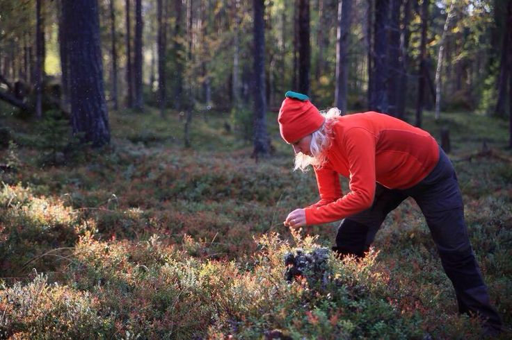 Piking Lingonberries in Ylläs Äkäslompolo Lapland Finland. www.theberrystay.com