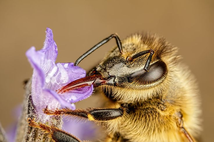 Damaged Honeybee [6000x4000] [OC]