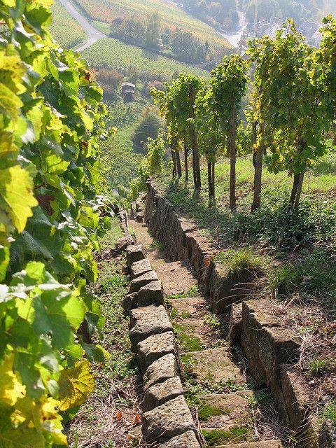 """Un vieux vignoble de Champagne. La région des vins de champagne est une province historique dans le nord-est de France. Il n'est pas """"champagne"""" si elle ne vient pas de Champagne."""