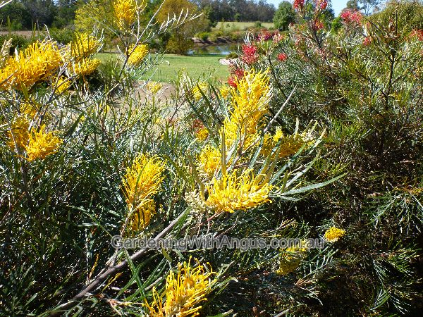 Grevillea - 'Bush Lemons'.  Grafted - large shrub,  3mtrs high x 3 mtrs wide. A fast growing shrub with deeply divided dark green foliage. Beautiful bright yellow flowers