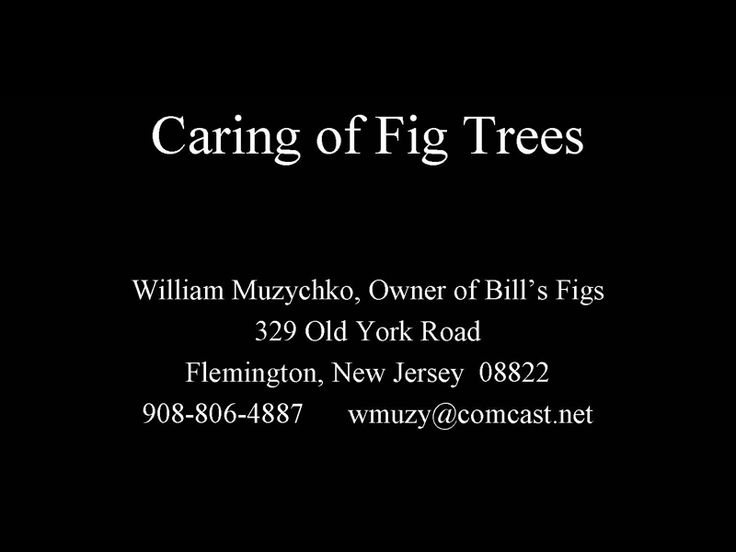 Fig tree care in the North East