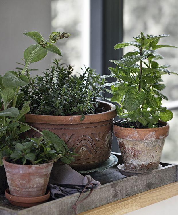 Sådan dyrker du krydderurter i vindueskarmen   ISABELLAS