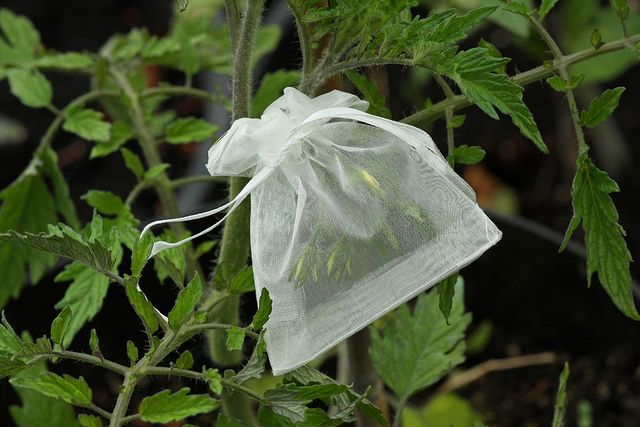 Great way to gather seeds: Tulle bags! Save the seeds from scattering! You can find these in the wedding or party section at craft stores.