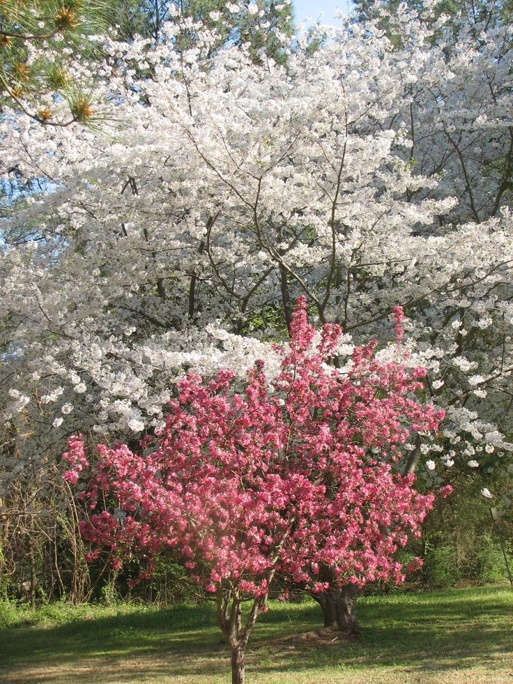 best 25 flowering crabapple ideas on pinterest. Black Bedroom Furniture Sets. Home Design Ideas