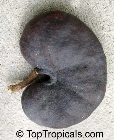 Enterolobium cyclocarpum - Monkey Ear  Click to see full-size image