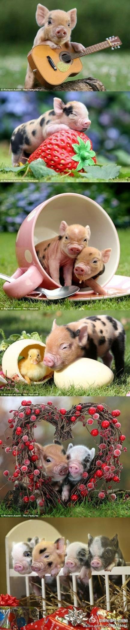Adorable baby pigs!