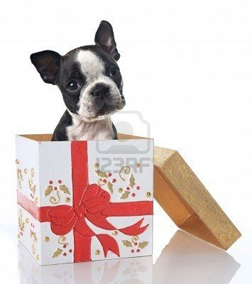 Boston Terrier Merry Christmas Card Terriers Puppy Holiday Dogs Santa Claus Dog Puppies