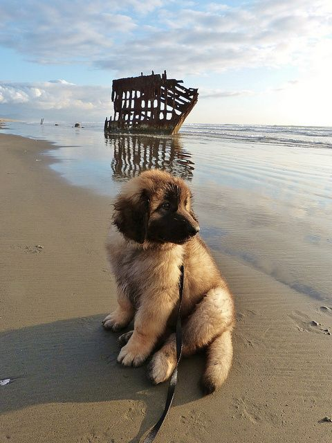 Hi! Baby Gulliver the Leonberger pup had his first trip to the beach the other day (he's now 12 weeks old).