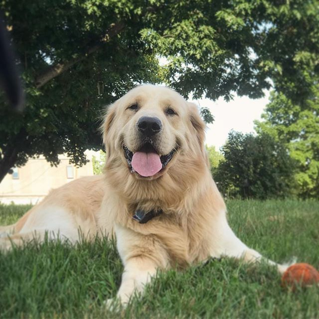 Beautiful Smile From Joyful A 1 12 Year Old Golden Retriever Puppy