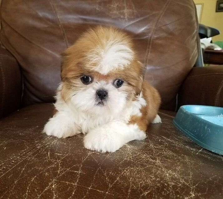 Shih Tzu Puppy For Sale In Los Angeles Ca Adn 32331 On Puppyfinder Com Gender Male Age 8 Weeks Old With Images Shih Tzu Shih Tzu Puppy Maltese Shih Tzu