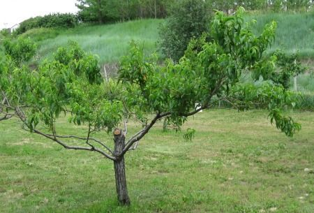 31 best grow assess guava images on pinterest fruit for Peach tree designs