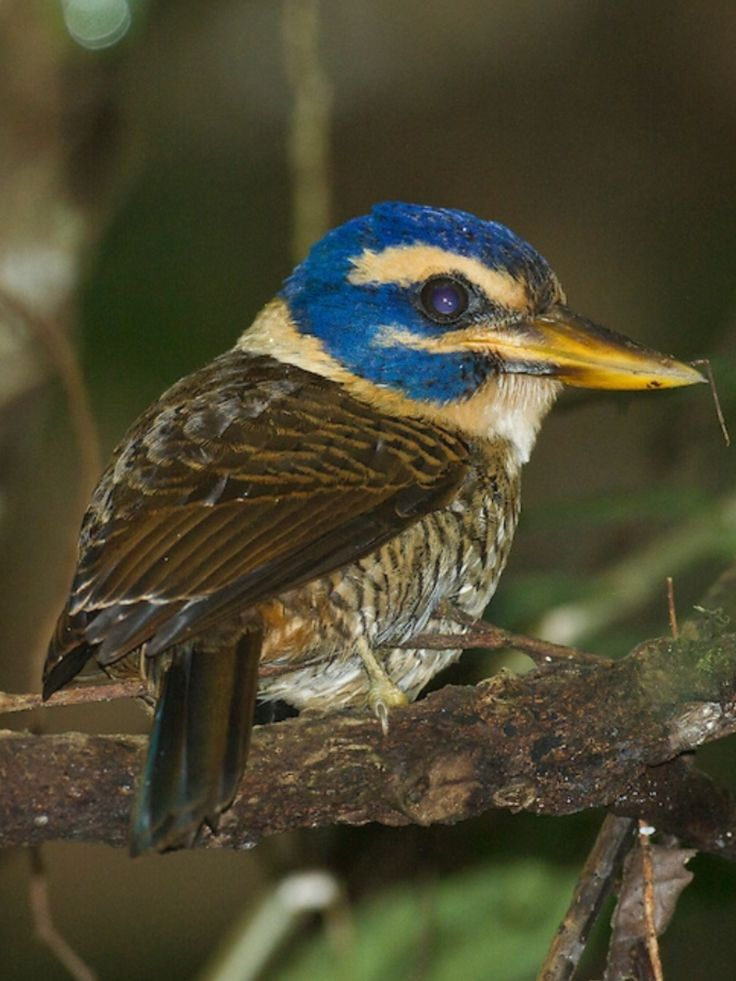 Scaly-breasted Kingfisher, female: Sulawesi - Pacific Rim Photos