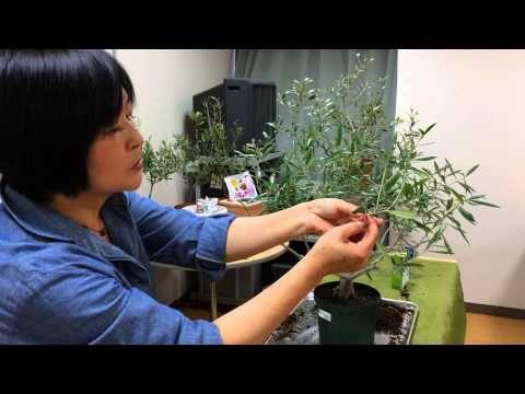 オリーブの育て方・日常管理 植え替え(根詰まりした場合の鉢上げ)実作業編 - YouTube