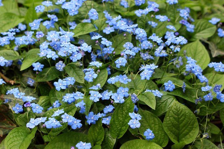 Omphalodes verna - ORMÖGA  Omphalodes verna - Amerikaans vergeet-mij-nietje - Vaste planten   Maréchal