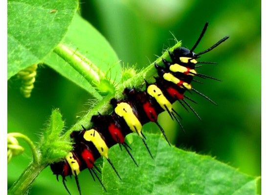 3 Red Lacewing Caterpillar Pictures