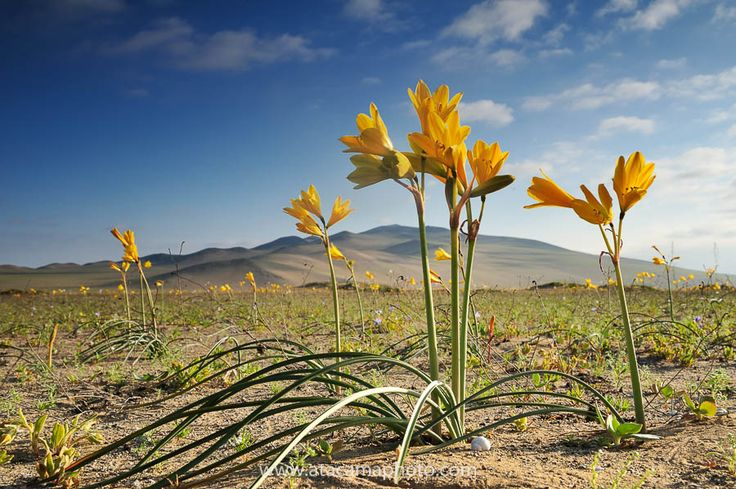 A field of añañuca amarilla (Rhodophiala bagnoldii)
