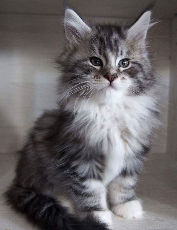 Healthy and Purebred Himalayan Cats & Kittens for sale in