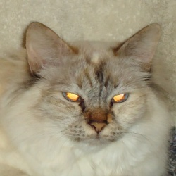 Desi is an adoptable Birman Cat in Toronto, ON. Seal-Tortie Lynx Point / Champion, Spayed, Vaccinated, DOB April 20, 2006. Desi loves to be brushed and will even roll over on her back for her tummy to...