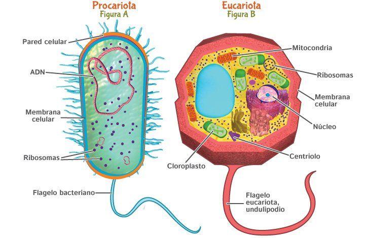 Ramón Hidalgo Rivero 6ºA  Trata de las diferencias de la celula procariota y eucariota y hablan de ello